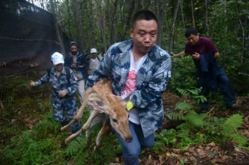 A WWF worker carries an injured sika deer, which will be served as food for Amur tigers, in Jilin on August 26, 2013