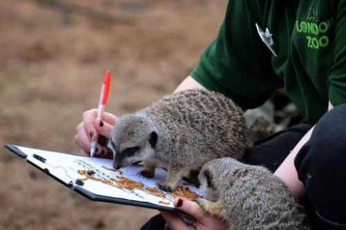 A zoo keeper poses with meerkats during the annual stocktake at ZSL London Zoo in central London on January 3, 2013