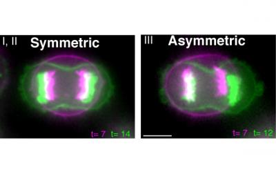 Bearing witness to the phenomenon of symmetric cell division