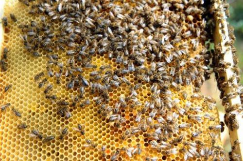 Bees in Colomiers, southwestern France, on June 1, 2012