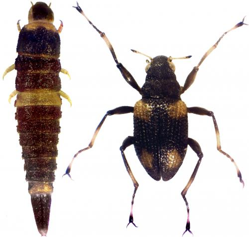 'Beetle in spider's clothing' -- quaint new species from Philippine Rainforest Creeks