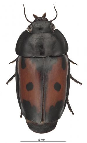 Beetles that live with ants: A remarkably large and colorful new species from Guyane