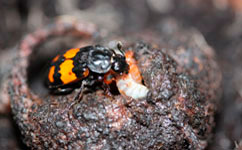 Beetles who socialise more spend more time judging their opponents