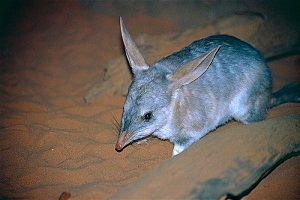 Bilby burrows integral to ecosystem function