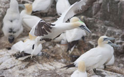 Bird-borne cameras reveal gannet habits