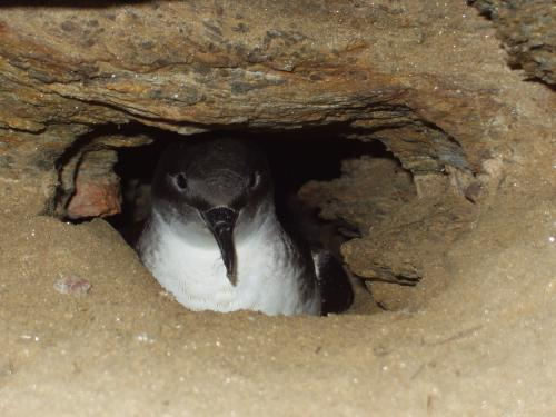 Invasion of wild cats could see the end of a seabird endemic to the Mediterranean