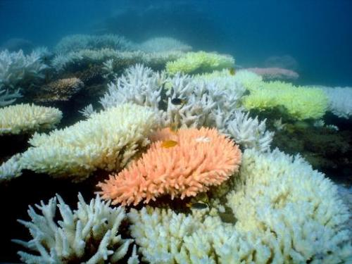 Bleaching is seen on a coral reef at Halfway Island in Australia's Great Barrier Reef,  in an undated photo received from the Au