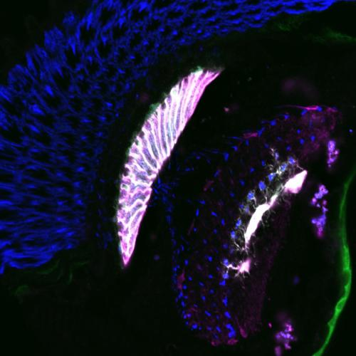 Blind flies without recycling: How Drosophila recovers the neurotransmitter histamine