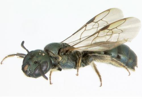 UNH researcher: Bees underwent massive extinction when dinosaurs did