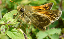 British butterfly desperate for warm weather this summer