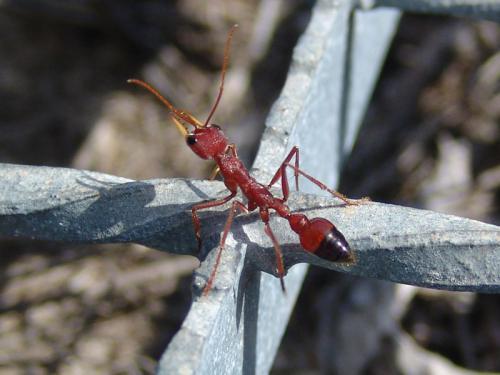 bull ant