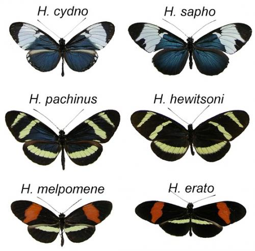 Butterflies show origin of species as an evolutionary process, not a single event