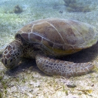 Call for 'citizen scientists' to help protect sea turtles