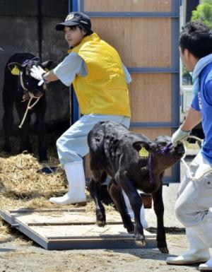 Calves are unloaded at a dairy cattle market to be put up for auction, on July 14, 2011
