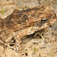 Cane toad or native frog?  App prevents mistaken identity