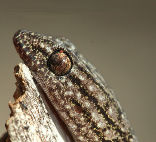 Can Geckos get going?