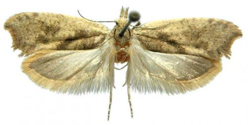 Catch me if you can: 2 new species of moth from the Russian Far East