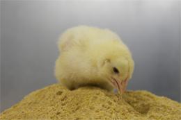 Куры могут питаться отходами от производства биотоплива