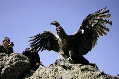 Chile: 20 condors poisoned with insecticide; 2 die