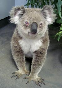 Chlamydia threat to untouched koala population
