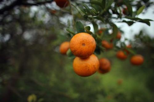 Citrus production in Florida, the world's second largest orange juice supplier after Brazil, is being threatened by bacteria fro