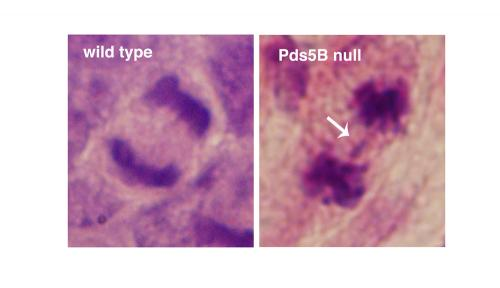 CNIO researchers delve into the behavior of cohesins
