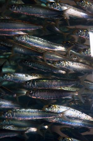Coastal power plant records reveal decline in key southern California fishes