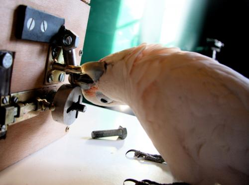 Cockatoos 'pick' puzzle box locks
