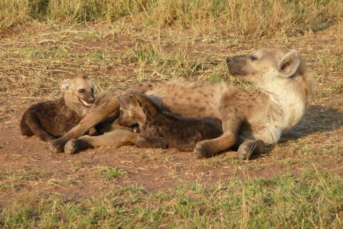 Competing for milk can be a stressful thing for hyena twin siblings