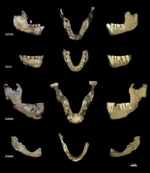 Normal wear could explain differences in hominin jaw shapes