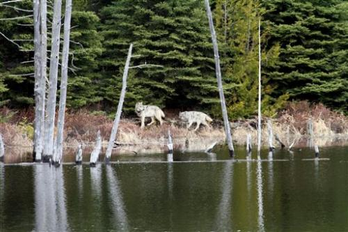 Debate brews over fate of wolves on US island