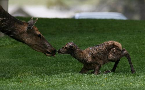 Declining fortunes of Yellowstone's migratory elk