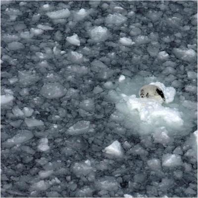 Declining sea ice strands baby harp seals