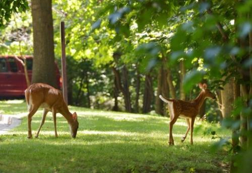 Deer graze near a parking lot in Rock Creek Park in Washington, DC on July 26, 2013