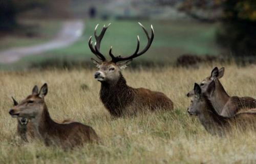 Deer in Richmond Park, west of London on November 9, 2004