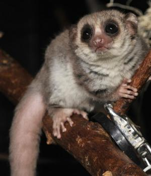 Hibernating lemurs hint at the secrets of sleep