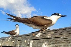 Dining habits of breeding terns revealed