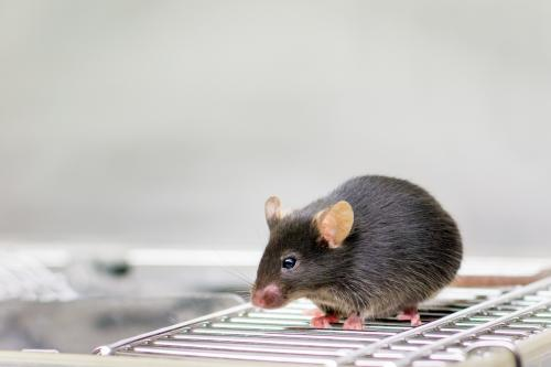 Discovered how mice survive infection by virulent Toxoplasma parasites