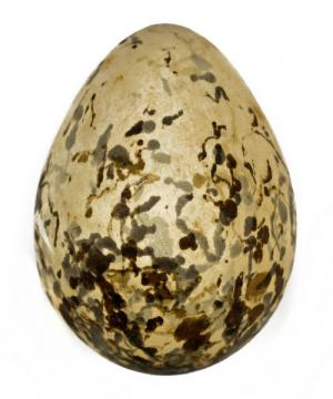 DNA analysis identifies endangered Indian bird egg