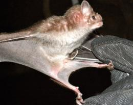 Dracula's children may lead to novel drug design