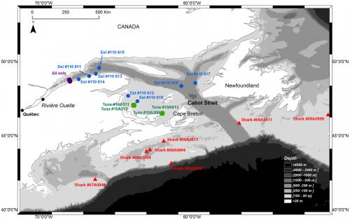 Eel migration study reveals porbeagle shark predation in the Gulf of St. Lawrence