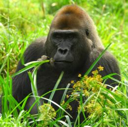 Effect of season on the health of apes: A case study of wild chimpanzees and Western gorillas