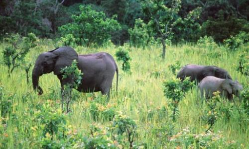 Elephants graze at Lope National Park in Gabon on November 28, 1999