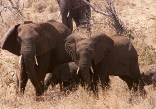 Elephants wander around the bush at Great Limpopo Transfrontier Park in Mozambique, on October 4, 2001