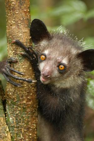 Endangered lemurs' complete genomes are sequenced and analyzed for conservation efforts