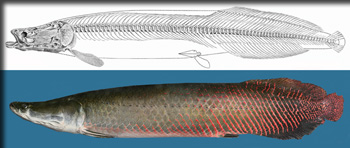 ESF scientist rediscovers long-lost giant fish from Amazon