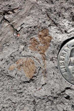 Evolution, Civil War history entwine in plant fossil with a tragic past