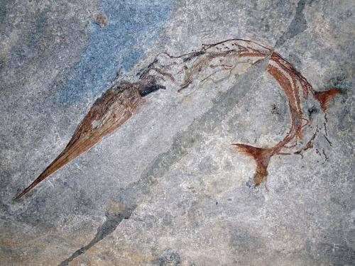 Exceptional fossil fish reveals new evolutionary mechanism for body elongation