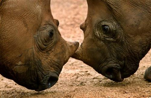 Expert: Rhino population wiped out in Mozambique