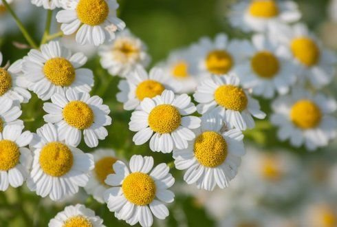 Feverfew genes yield anticancer compounds